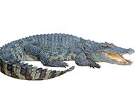 吃撑的鳄鱼高清图片