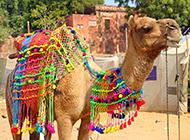 高大健壮的沙漠骆驼高清摄影图片