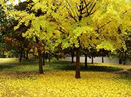 美丽的银杏树高清摄影图片
