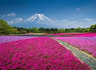 日本富士山浪漫唯美花海壁纸