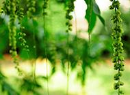 初春绿色植物护眼高清壁纸