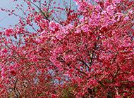 精选美丽的樱花图片欣赏