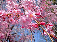 粉色樱花树唯美图片