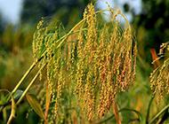 秋天成熟的稻谷图片素材