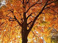 好看的秋天枫树图片欣赏