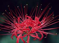 绽放的红石蒜花图片