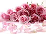 一束唯美粉玫瑰图片素材