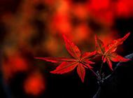 红色的枫叶唯美摄影图片