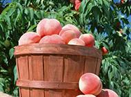 刚采摘的水果桃子图片