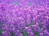 一片紫色薰衣草花海图片