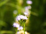 一撮紫色的蒲公英图片