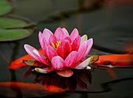 一朵红色莲花图片素材