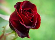 唯美红玫瑰花背景素材