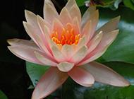 雨后的池塘莲花图片