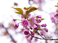 春日粉色樱花背景图片