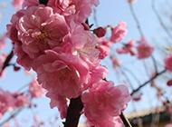 美丽的桃花超清特写图片