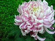 淡紫色的菊花实拍图片