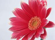 一朵俏丽的粉色非洲菊图片