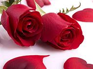 浪漫娇艳的红玫瑰花图片