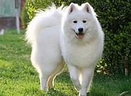 小狐狸图片 白色狐狸狗图片