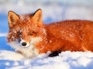 银狐狸图片 野外狐狸图片