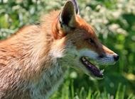 蓝狐狸图片 机智的狐狸图片