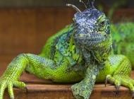 变色蜥蜴图片 蜥蜴 变色龙图片