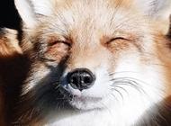 老狐狸图片 爱笑的小狐狸Juniper图片