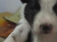 陨石色边境牧羊犬图片 边境牧羊犬的图片