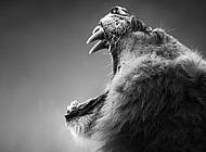 卧狮子图片 狮子仰天长啸黑白高清图片