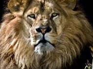 萌狮子图片 高清非洲狮子图片摄影大全