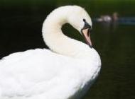 优雅的白天鹅图片 美丽优雅的白天鹅图片