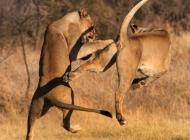 南非狮子滑稽的打斗瞬间