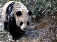 大熊猫图片大全 大熊猫