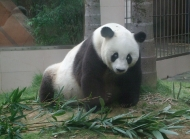 大熊猫图片大全图片 可