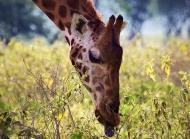 长颈鹿,颈部,面部,舌头,植物,动物长颈鹿桌面壁纸