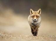 动物世界之狐狸高清壁纸