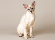 白色猫图片大全 可爱白