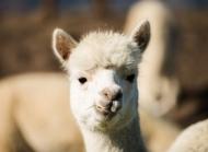 8张羊驼草泥马