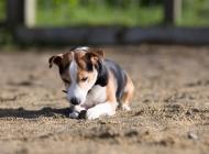 比格犬图片大全 可爱的比格犬图片大全