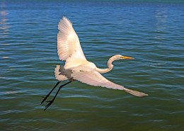 展翅飞翔的白鹭图片(11张)