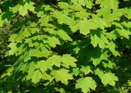 绿色的枫叶图片(13张)