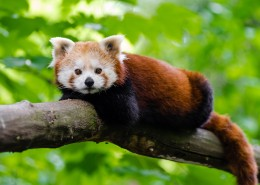 野生的小熊猫图片(15张)