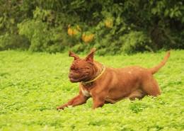 在草地玩耍的波尔多犬图片(12张)