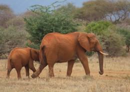 走在一起的大象和小象图片(13张)