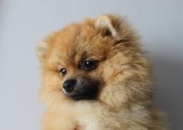 顽皮可爱的博美犬图片(14张)
