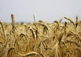 成熟的小麦图片(14张)
