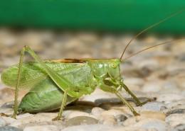 一只绿色的蚱蜢图片(15张)