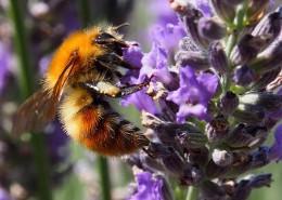 采蜜的小蜜蜂图片(14张)