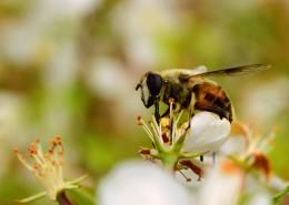 可爱的小蜜蜂图片(10张)
